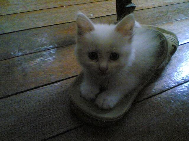 我家可爱的小白猫