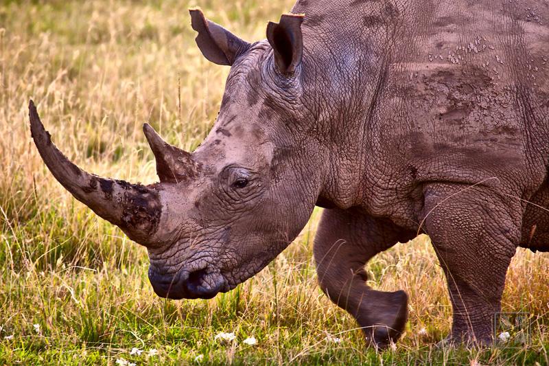 非洲水牛是我们到过的几个野生动物国家