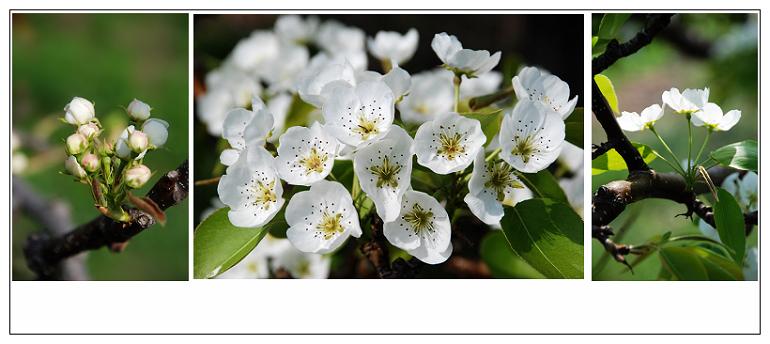 延边苹果梨树开花照片