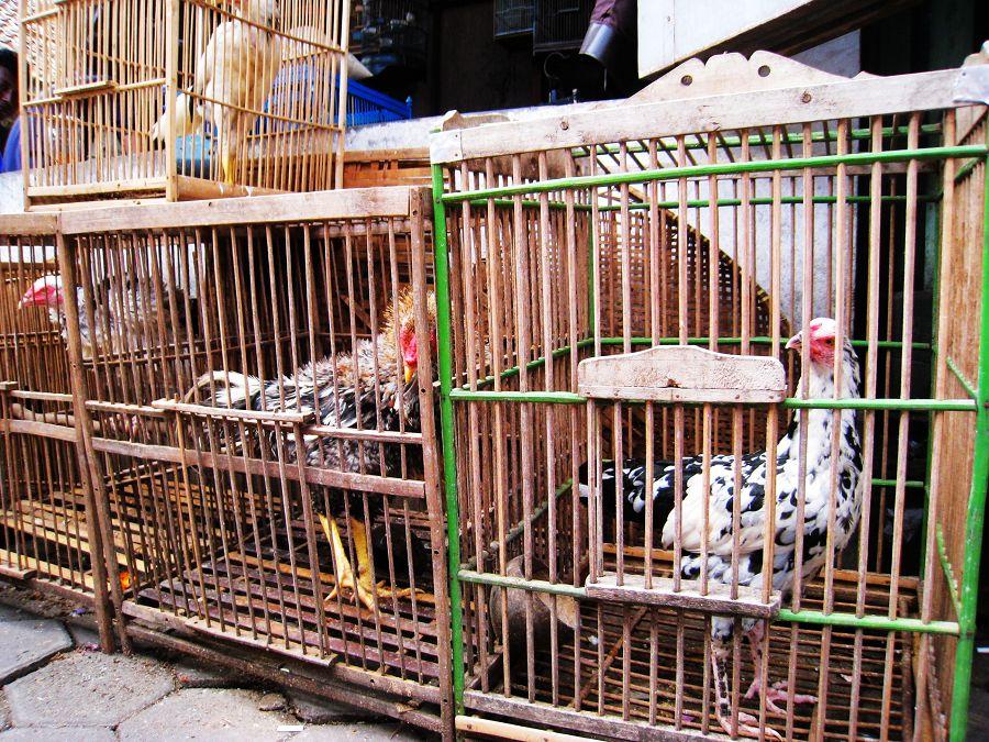 不可小看籠子里的雞都是兇悍的斗雞,只只久經沙場,百戰百勝