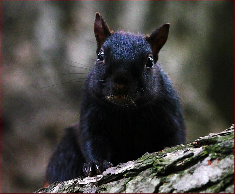 小松鼠是一种可爱的小动物