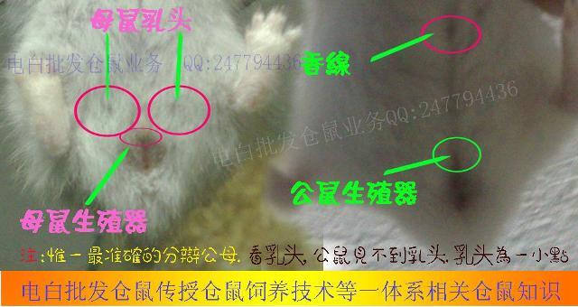 仓鼠怎么分辨公母 电白批发仓鼠 我的搜狐图片