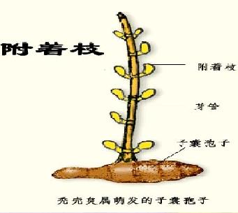 霉菌的形态和结构(图文并茂)