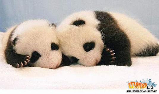 大熊猫的成长过程(组图)(转帖)