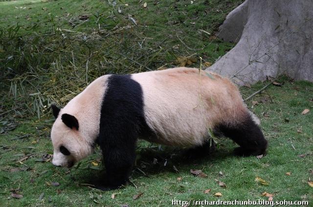 """活化石""""熊猫基地"""""""