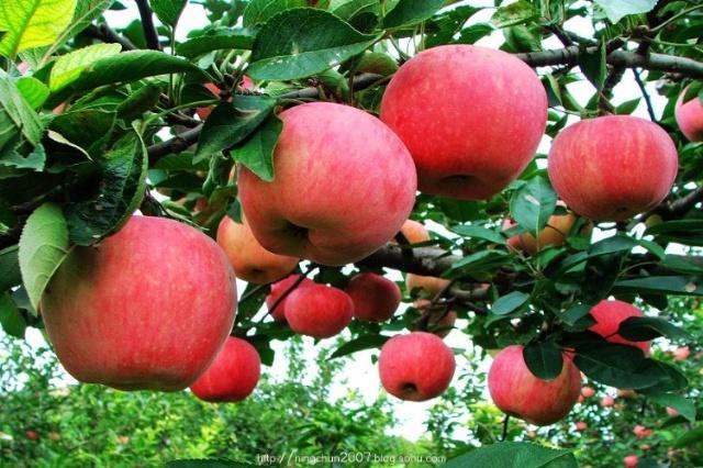 有多远(24)苹果熟了的时候