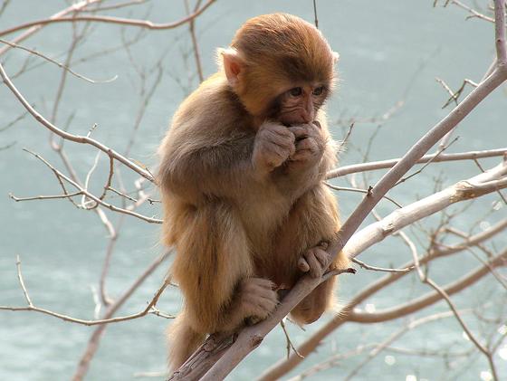"""瞧!那活泼可爱的小动物真顽皮啊!它是谁呢? 当然是我最喜欢的小动物——猴子。 它长着一张圆圆的脸,小小的眼睛炯炯有神,滴溜溜地转着。身体不胖也不瘦,屁股像火一样红。它的尾巴又细又短,微微向上翘着。它四肢发达,前腿短,后腿长。全身长满了棕色的毛,头上毛的颜色比身子浅,像是穿了一件毛皮大衣。 突然,它""""吱吱吱""""地叫了起来。 咦!它为什么叫呢?原来是饿了。 它一把抓起一块饼干,像人一样,双腿盘在后面,坐了上来。 只见它抬起前爪,一口就把饼干吃了下去,然后感激地望"""