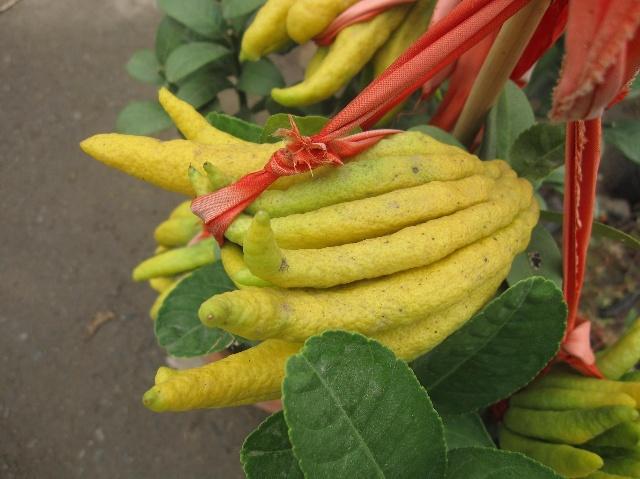 金华佛手是常绿小乔木或灌木,盆栽结果树