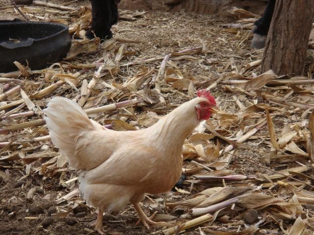 世界上最长寿的鸡 - 墨心人的博客