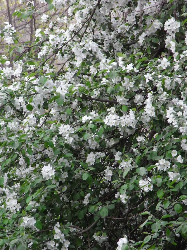 果树开花图片大全竖版