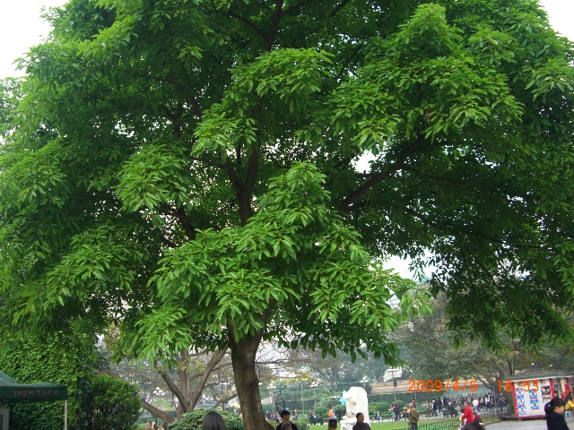榕树叶子一簇堆着一簇