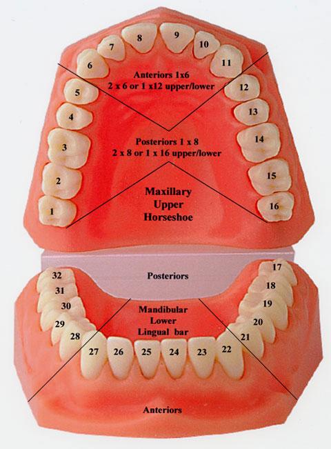全口牙齿的名称和位置