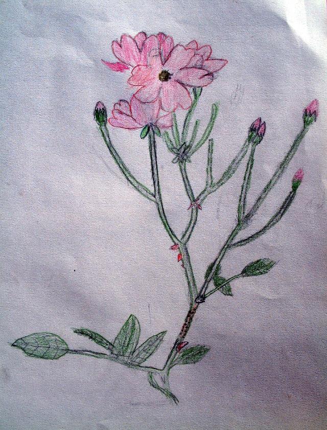 从熟练程度和观察方法上,孙嘉禾做的最好。他的画把花的姿态则当关系以及叶子与茎的关系表达的足够清楚。看看花的色彩变化,就知道这次的作业比上次的有进步了,但是花蕾的表现上有点雷同,以为自然界中的物体没有完全一样的,所以表现方法,建议下次可以在丰富一些。最后还要说得就是在用重颜色的时候,竟然选择了用紫色而不是用黑色,这是使用色彩的一个大进步啊。