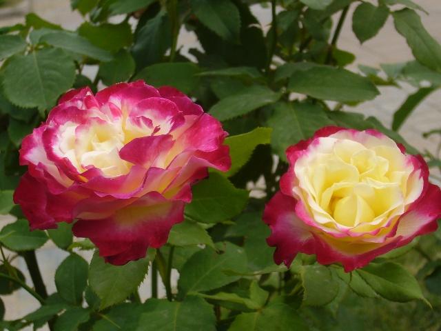 """""""百年""""蔷薇老树嫁接开出月季花 月季,蔷薇科蔷薇属,又名长春花。月季叶绿花艳,品种繁多,不仅有红白黄紫等纯色的,还有多种奇异的混合色和二重色的花朵。月季花期长,""""花亘四时,寒暑不改""""。初春时节,月季紧随迎春花绽放,经夏而秋,春桃秋菊,牡丹、芍药依次花开花谢,只有月季常驻不衰,直至冬日。 宋朝诗人宋积有一首月季花赞云: 叶里深藏云外碧,枝头常借日边红; 曾陪桃李开时雨,仍伴梧桐落叶风。 这首诗对月季的姿色和特征的形容可谓淋漓尽致 月季花是北京的市花,在北京的很"""