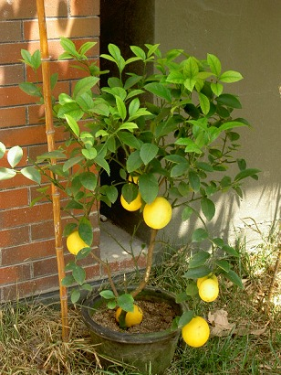 希望厨房里有一颗柠檬树.需要柠檬随手摘一颗.