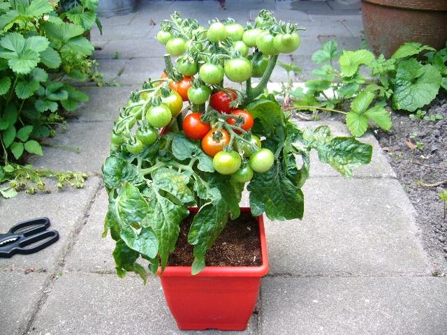 怎样给西红柿搭架子