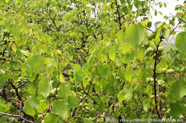 满山的山杏树结满了果实