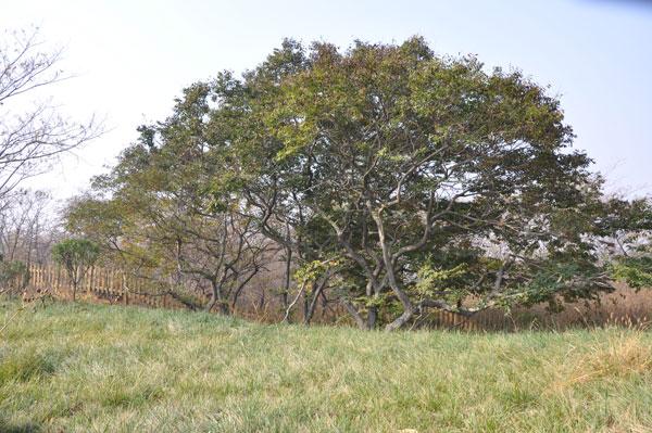 """菩提树,原名荜钵罗树,是生长在我国南方和东南亚地区的一种长绿乔木。后因佛主释迦牟尼在此树下打坐,沉思七个春秋悟道成佛而得其名。(菩提,佛教梵文音译,原意为""""觉""""和""""智""""指佛教真理的""""觉""""和""""悟""""。又译为""""道"""",指通向涅磐的智慧,称为菩提。)菩提树,也叫""""觉悟树""""、""""成道树""""。菩提岛上的菩提树树龄均已超过千年,每年大约5月20日前开花,花色呈"""
