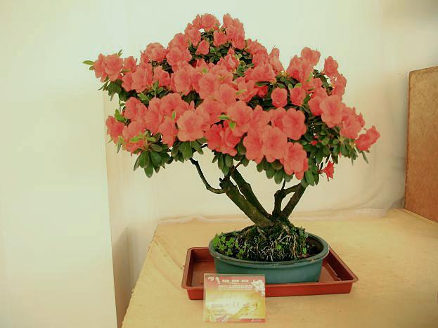 参观2011上海杜鹃花展之盆景展(下)