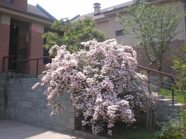 花灌木在人工景观中不是很常见