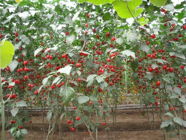 长在树上的蔬菜 - 有多远走多远123的博客