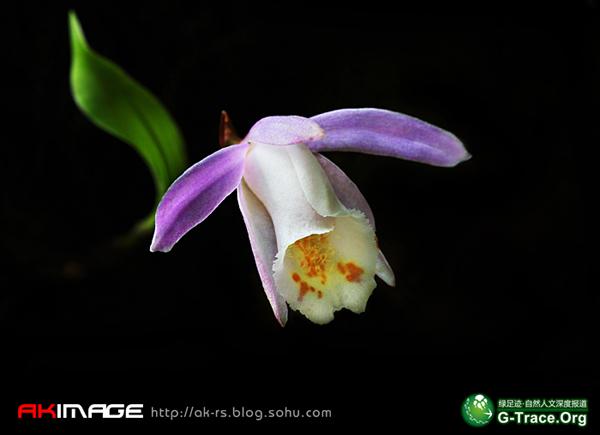 毛唇独蒜兰是cites附录Ⅱ级的保护植物