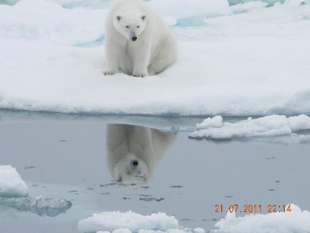 从凌晨见到妈妈宝贝和大全后,在这边海峡我们一共看到了至少5只北极熊猴子和动画片海象大图图片