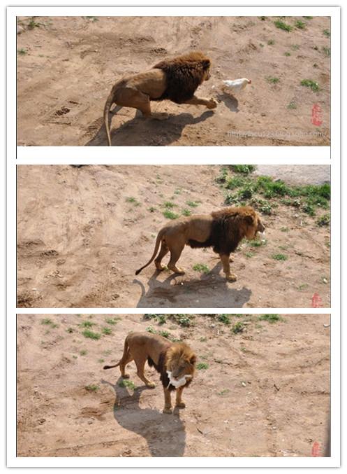 母狮子抓鸡.